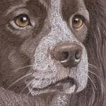 Gemma - Springer Spaniel Portrait