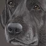 Grouse - Black Labrador portrait