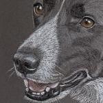 Jez - Border Collie Portrait