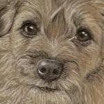 Pepsi - Border Terrier Portrait