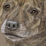 Roxy - Staffie, Staffordshire Bull Terrier Portrait