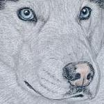 Diesel - Siberian Husky Portrait