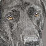 Bentley - black labrador portrait