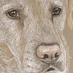 Millie - Yellow Lab Portrait