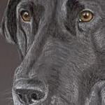 Judy - Black Lab Portrait