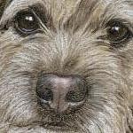 Bob - Border Terrier Portrait