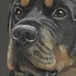 Hugo - Rottweiler Portrait