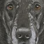 Bria - Black Lab Portrait