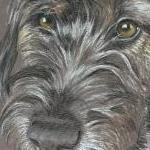 Billy - wire haired dachshund portrait