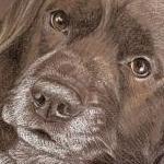 Springer Spaniel Portrait - Jasper