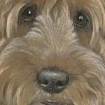 Archie -  cockerpoo portrait