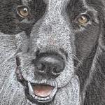 Asher - Border Collie Portrait
