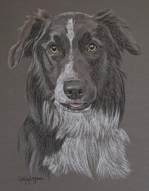 Roscoe - Border Collie Portrait